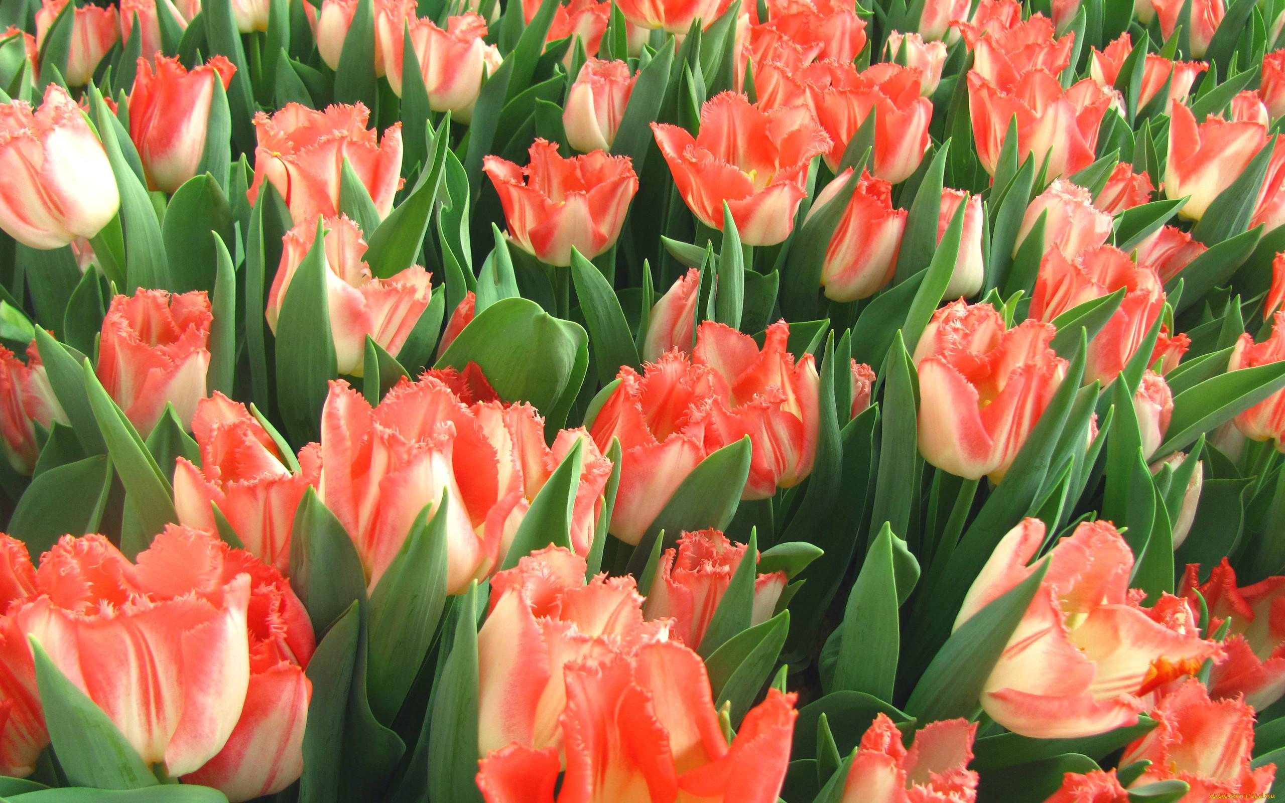 Фото тюльпанов для рабочего стола